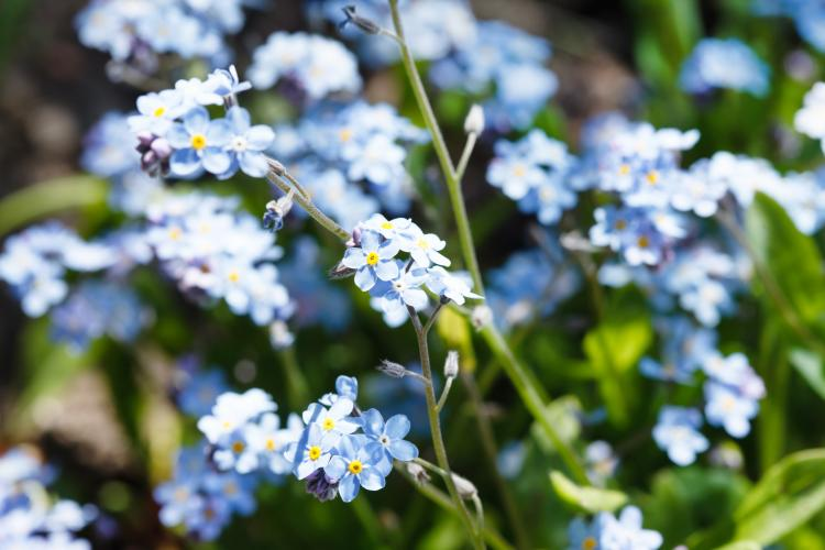 Forget-me-nots, September's birth flower.