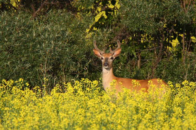 White-tailed deer buck near a canola field.