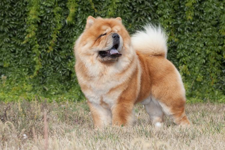 A purebred adult chow chow.
