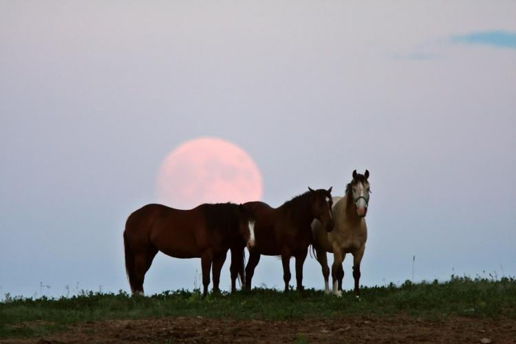 The Full Moon behind three horses.