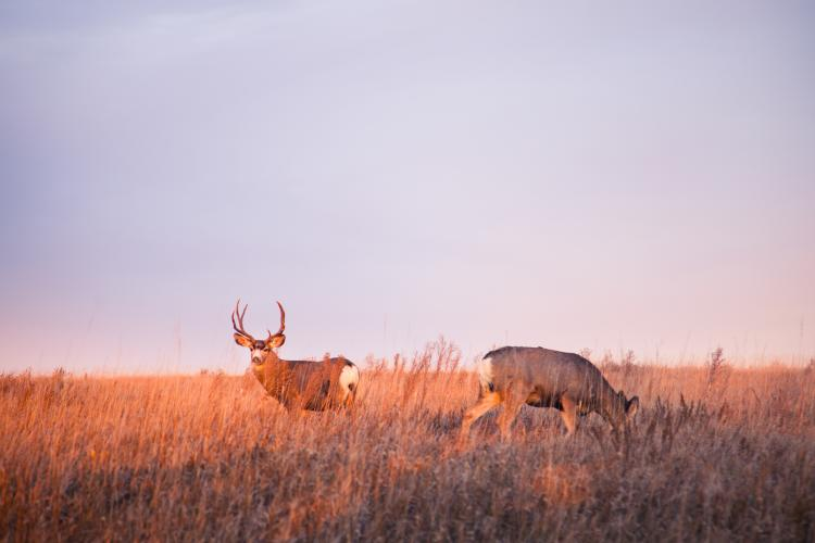 Deer in a grassy field at dawn.