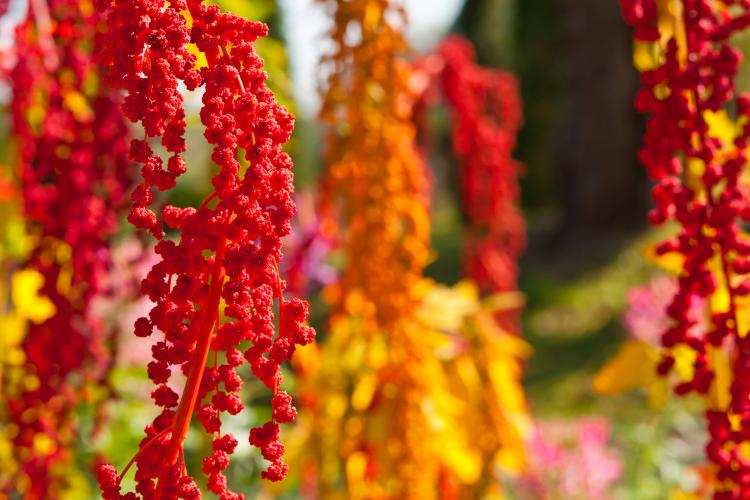 Colorful quinoa tree.