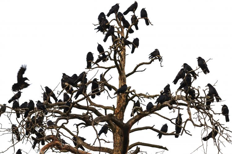Tree filled with an unkindness of ravens